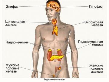 Спорт и эндокринная система