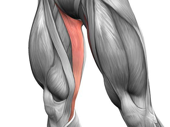 Тонкая мышца бедра: анатомия, точки напряжения, снятие боли